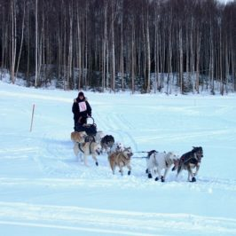 A musher in the Jr. Iditarod