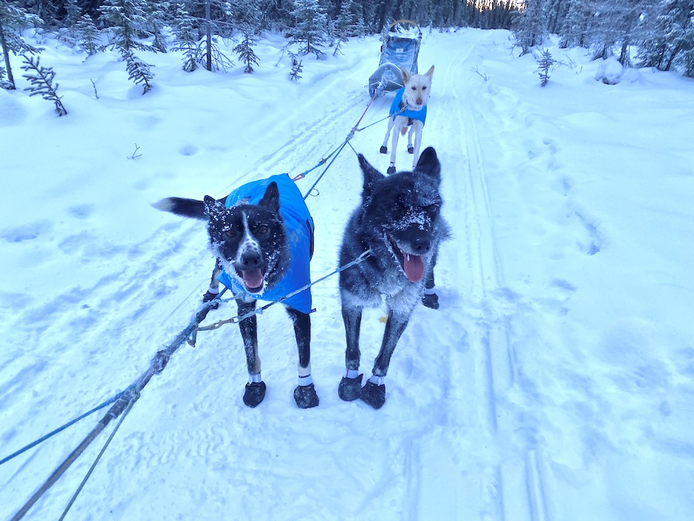 Two frost-faced dogs wear booties and stand in harness on a line, with big smiles on their faces