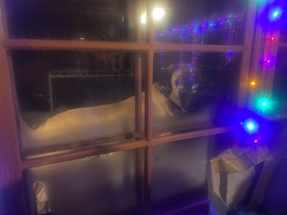 Mo the Mastiff stands outside a christmas-light decorated window looking in