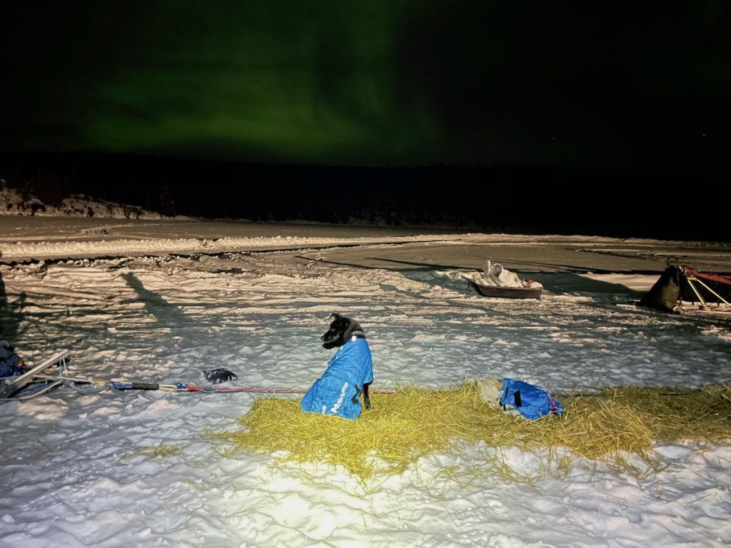 A sled dog sits in straw, wearing a dog coat, under green northern lights