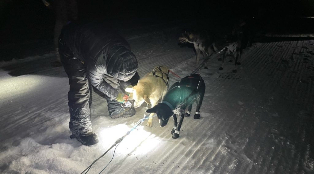 Will bends over to put a bootie onto the foot of a sled dog.