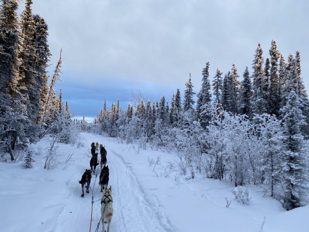 A sled dog team travels down a snowy trail
