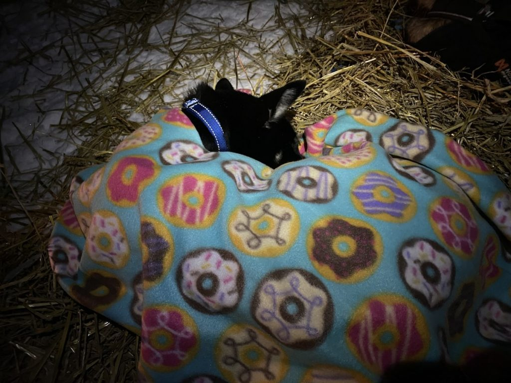 A black sled dog lays curled on a bed of straw with a fleece blanket decorated with donuts draped over her