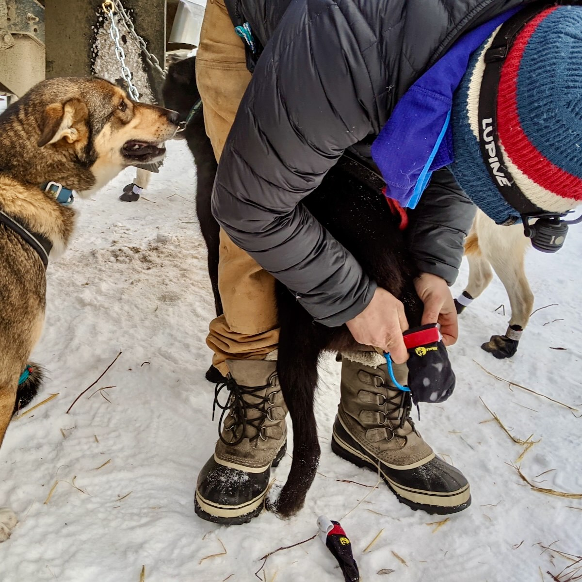 Will the musher puts a bootie onto the back foot of one sled dog while another sled dog looks on
