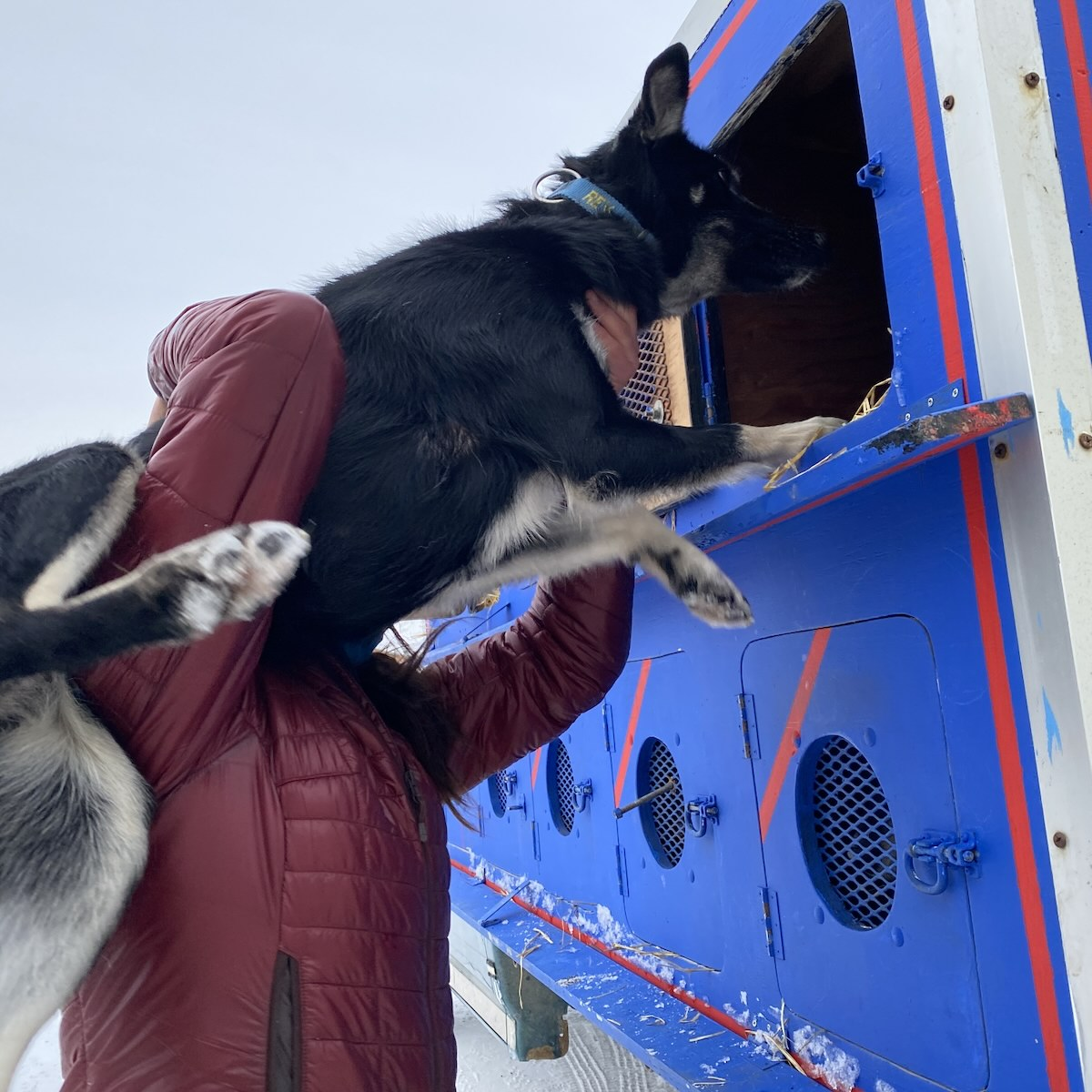 Sam the handler hoists a black sled dog into the upper level of a double deck wooden box with kennels for dogs to ride in