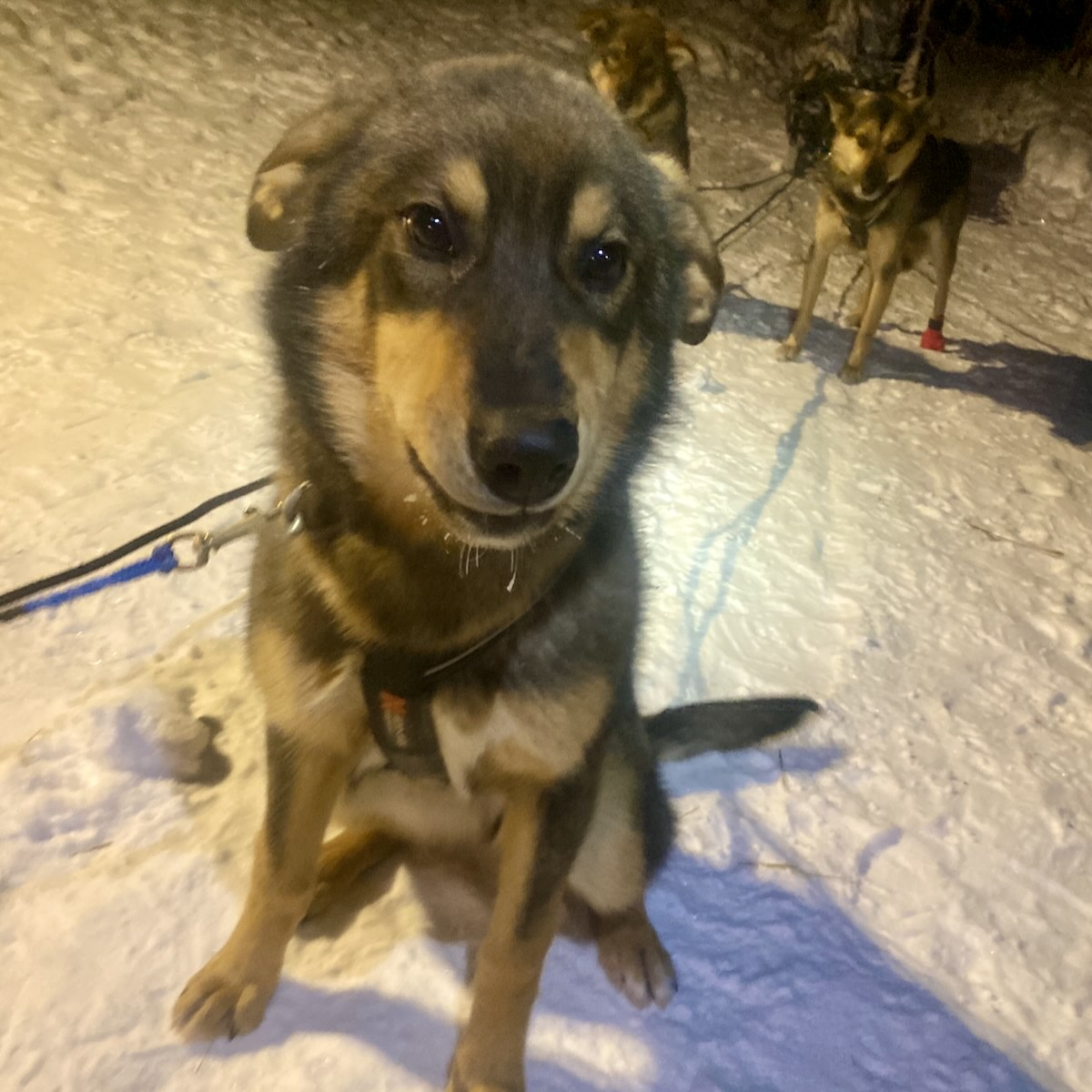 A large but youn sled dog puppy sits in the snow wearing a harness