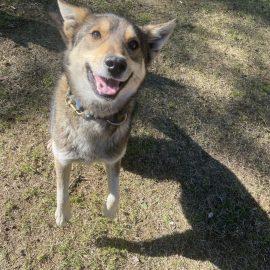 Sundance the golden sled dog smiles a goofy smile
