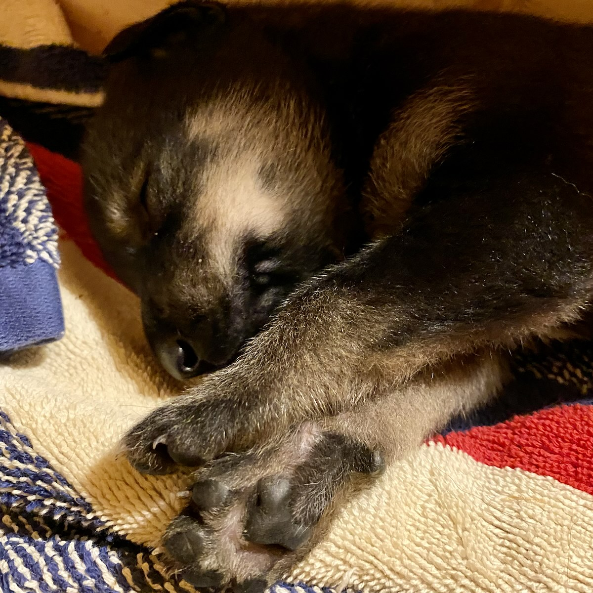 A tiny puppy sleeps soundly on some blankets