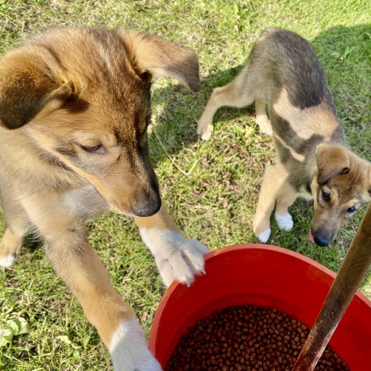 A sled dog puppy stands with her paws on the rim of a bucket full of kibble while another puppy looks on curiously