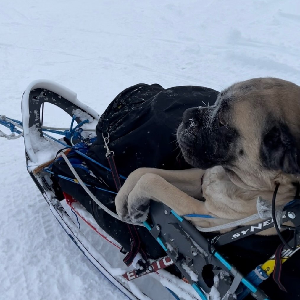 A large mastiff sits inside a dogsled, with his front legs and front half sitting outside of the sled bag