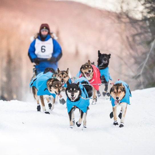 A team of grinning dogs runs through the snow wearing harnesses, with a musher wearing a bib behind them on a sled