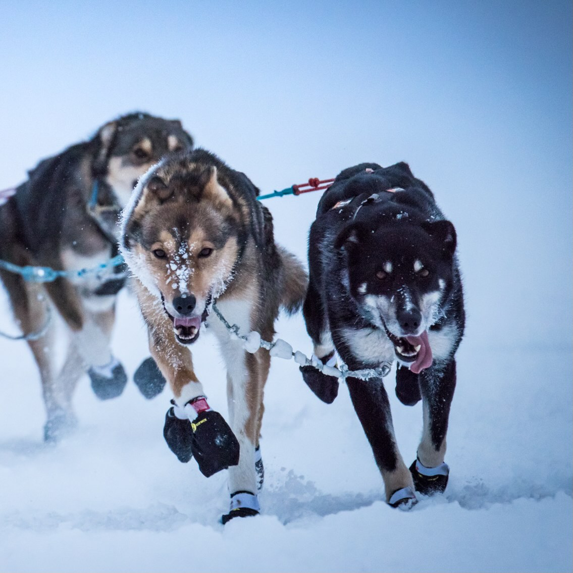 Two lead dogs on a sled dog team plow joyfully down the trail